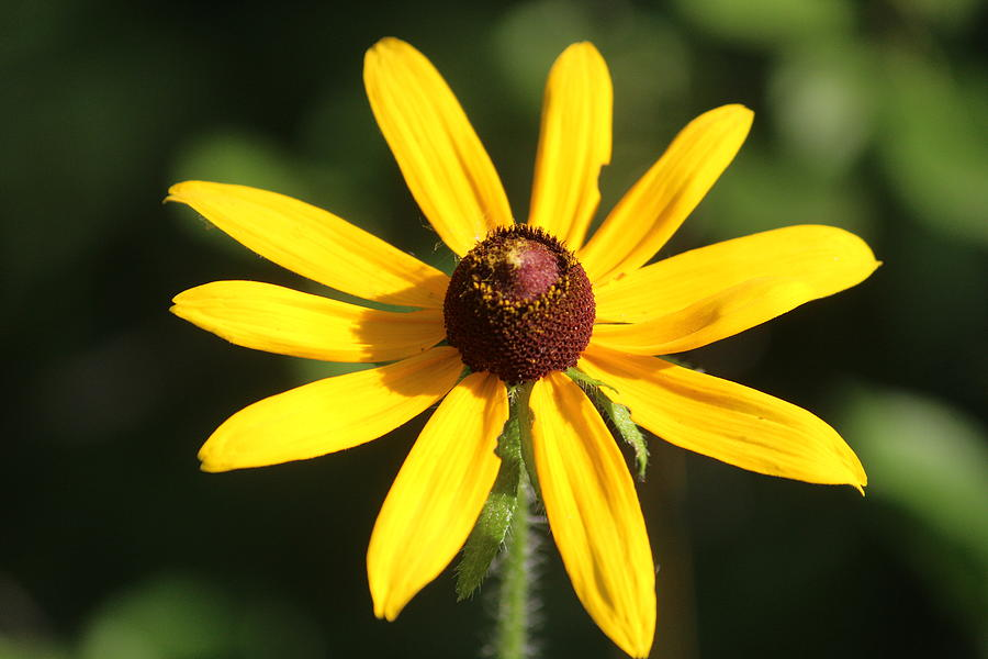 Black-eyed Susan Photograph - Black-eyed Susan by Callen Harty
