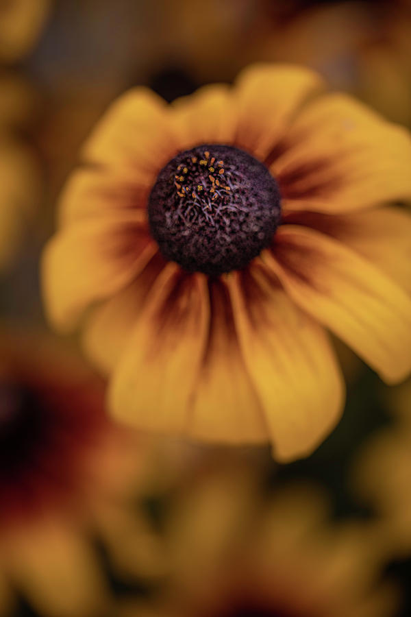 Black-eyed Susan In The Fall Photograph