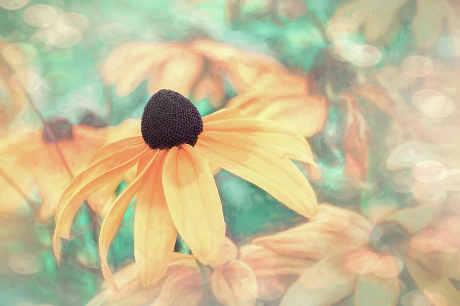 Black Eyed Susan Peachy Pastels Photograph