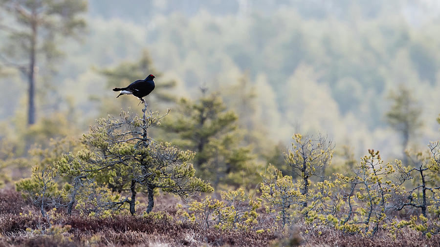 Black Grouse On Top Of A Small Pine Photograph