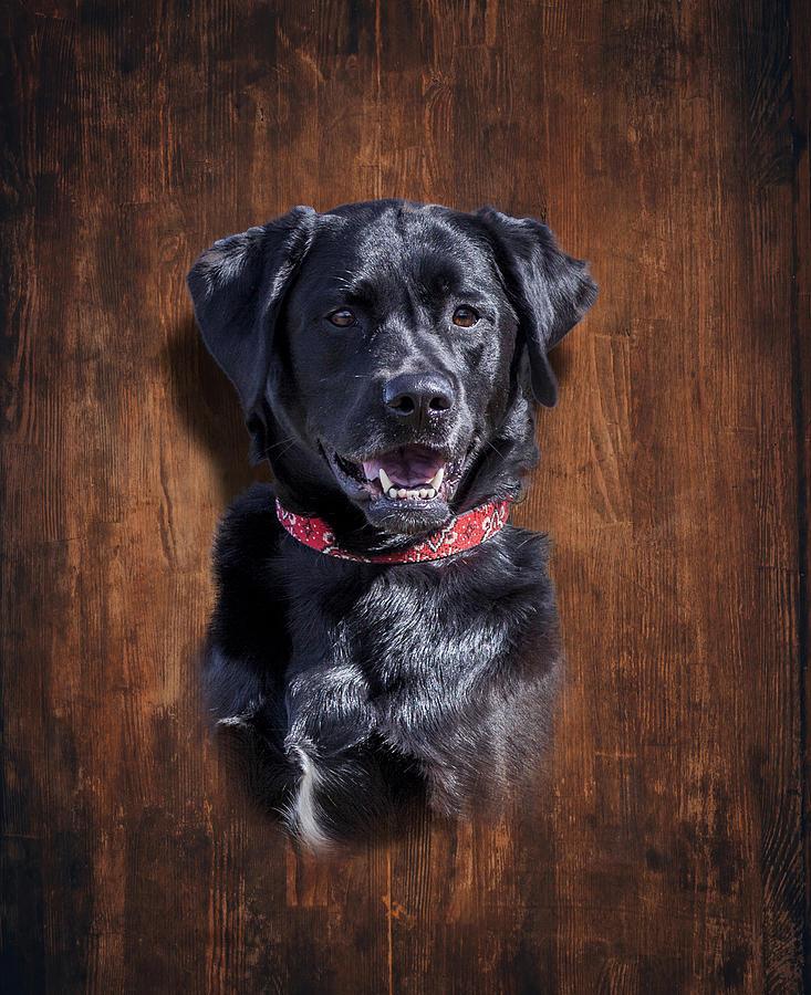 Black Lab Dog Portrait Photograph by Trevor Slauenwhite