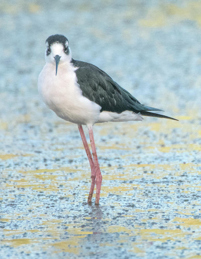 Black-necked Stilt 9006-100219 by Tam Ryan