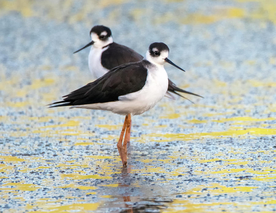 Black-necked Stilt 9007-100219-2 by Tam Ryan