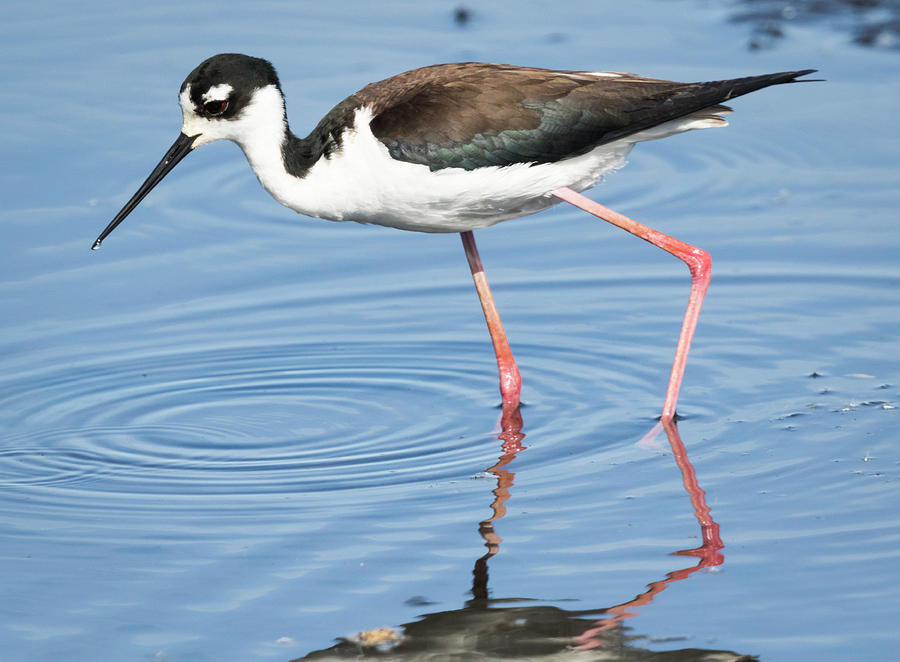 Black-necked Stilt In The Midwest Photograph
