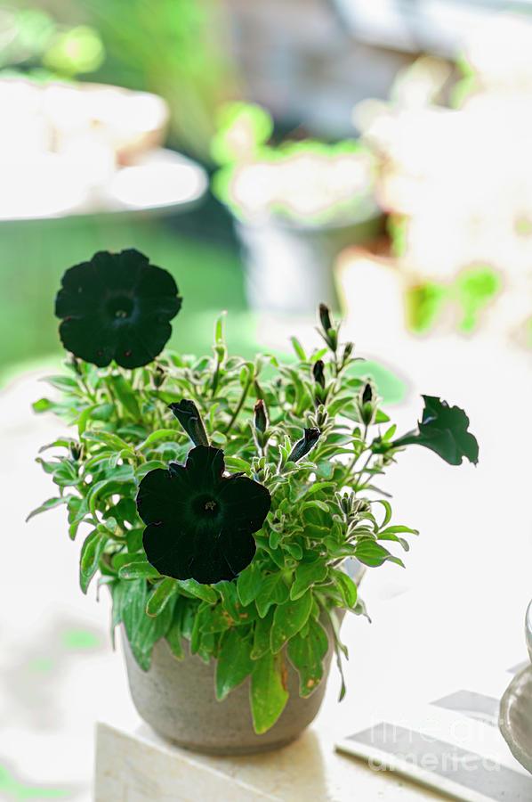 Black Petunia Flower Q2 Photograph By Ilan Rosen