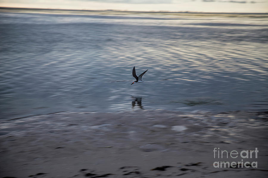 Reflection Photograph - Black Skimmer Flying At Twilight by Felix Lai