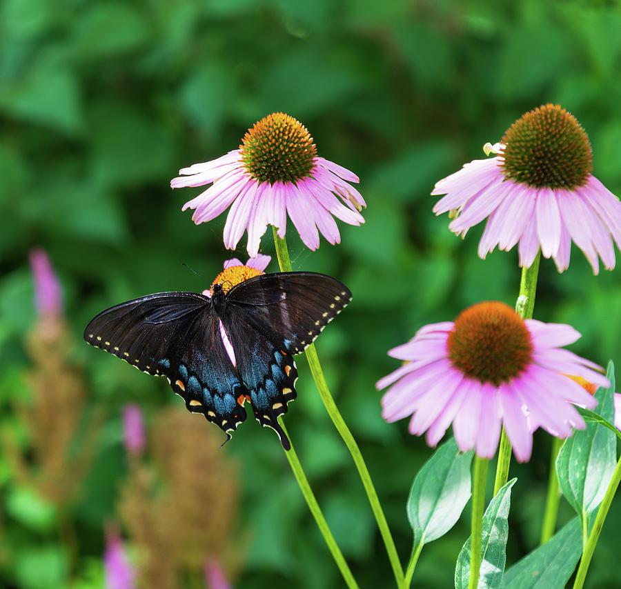 Black Swallowtail Beauty Photograph