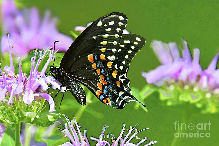 Black Swallowtail Butterfly And Bee Balm Blossoms Photograph