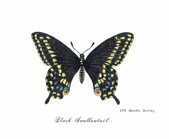 Butterfly Drawing - Black Swallowtail Butterfly by Lee Pantas