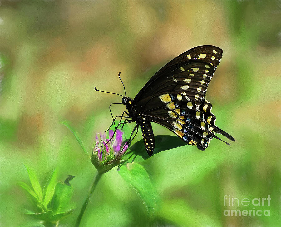 Black Swallowtail Butterfly On Clover Photograph