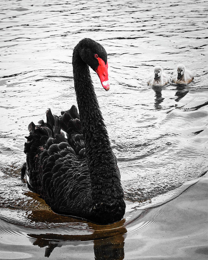 Fledglings Photograph - Black Swan and Fledglings by Zayne Diamond Photographic