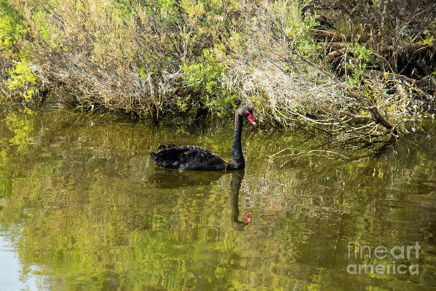 Black Swan Reflections by Elaine Teague