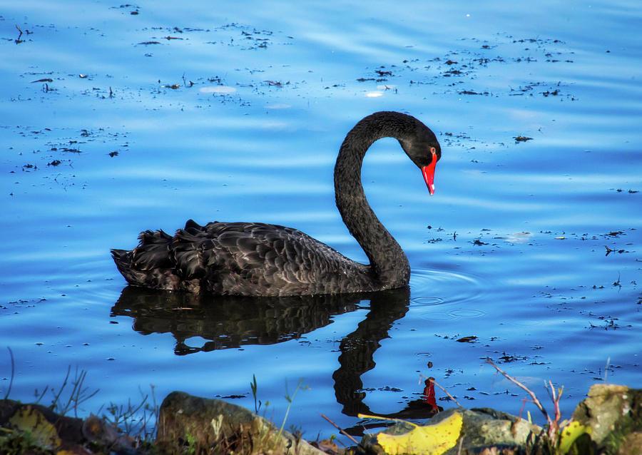 Black Swan by Steph Gabler
