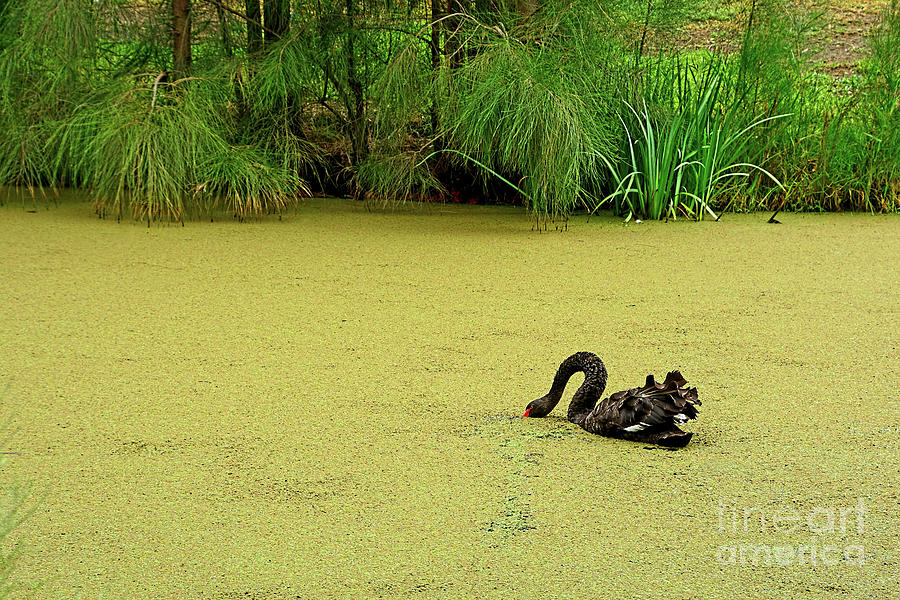 Black Swan Supper By Kaye Menner Photograph