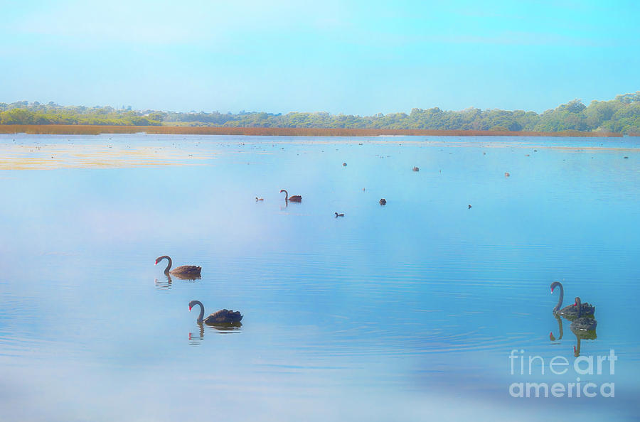 Black Swans at Lake Joondalup, Western Australia by Elaine Teague