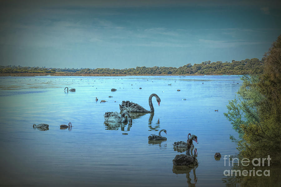 Black Swans on Lake Joondalup by Elaine Teague