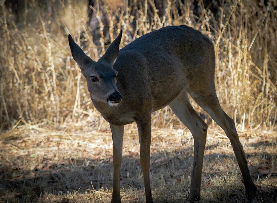 Black-tailed Deer 1 Photograph