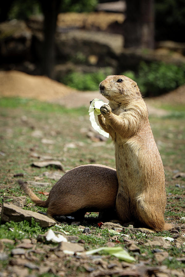 Black-tailed Prairie Dog Eats A Snack Photograph