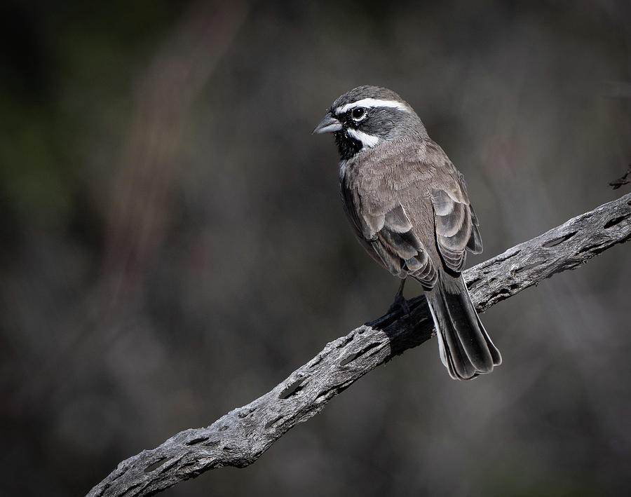 Black-throated Sparrow by Hershey Art Images
