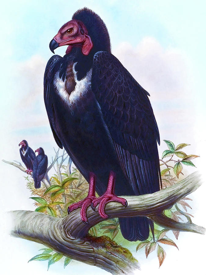 Black Vulture, Otogyps Calvus Bird Print By Joseph Wolf, Hc Richter, Birds Of Asia Painting