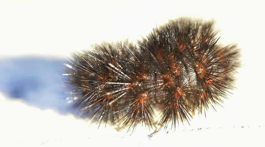 Black Wooly Bear Caterpillar Photograph