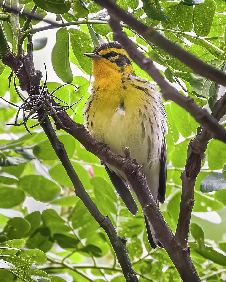 Blackburnian Warbler Hacienda Guadalajara Palmira Colombia by Adam Rainoff