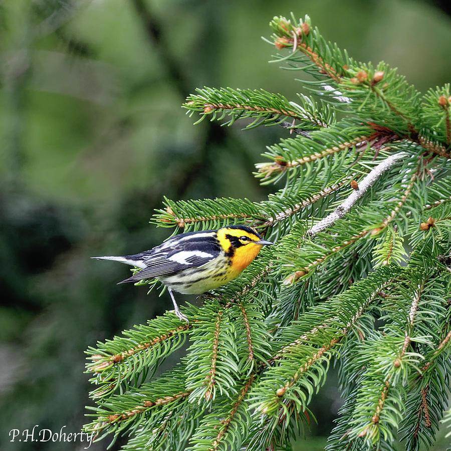 Blackburnian Warbler Photograph