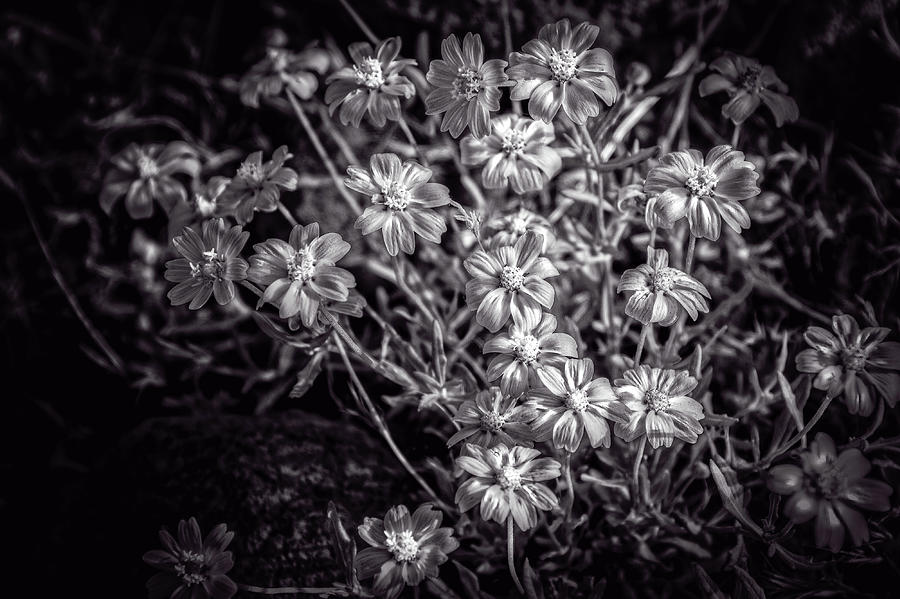Arizona Photograph - Blackfoot Daisey by Jack and Darnell Est