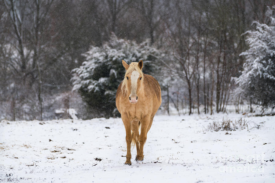 Blonde Horse Walk In The Snow by Jennifer White