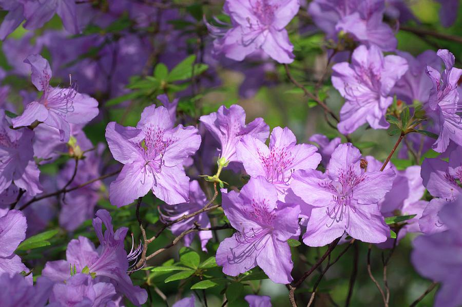 Bloom Of Rhododendron Ledikanense Photograph