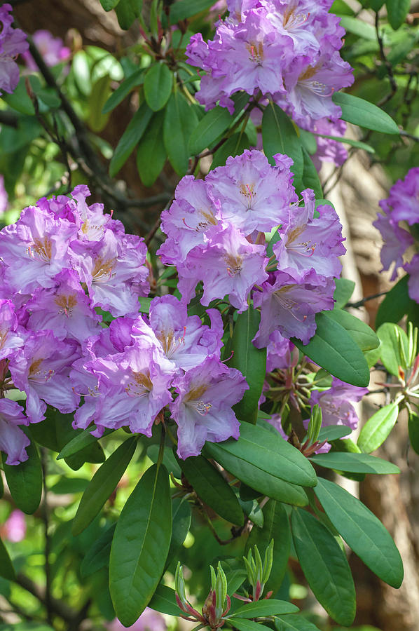 Bloom Of Rhododendron  Rhododendron Mrs J.p. Lade 1 Photograph
