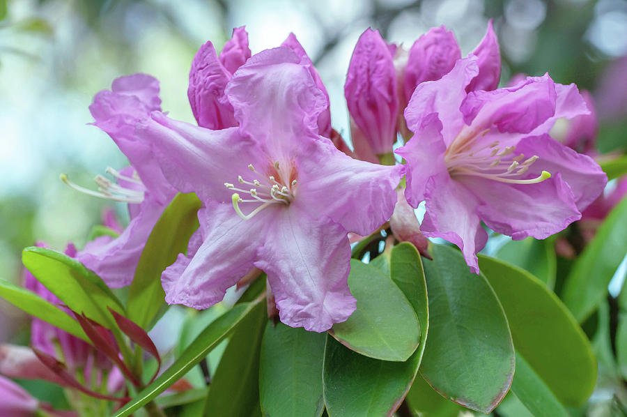 Bloom Of Rhododendron Mrs J.p. Lade Photograph
