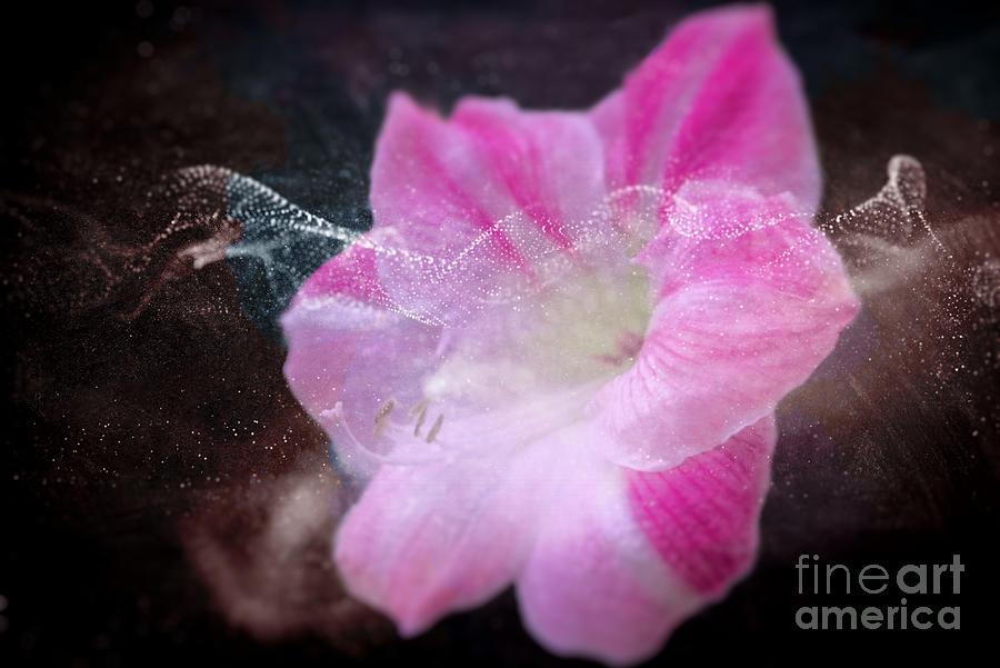 Blooming Amaryllis Photograph
