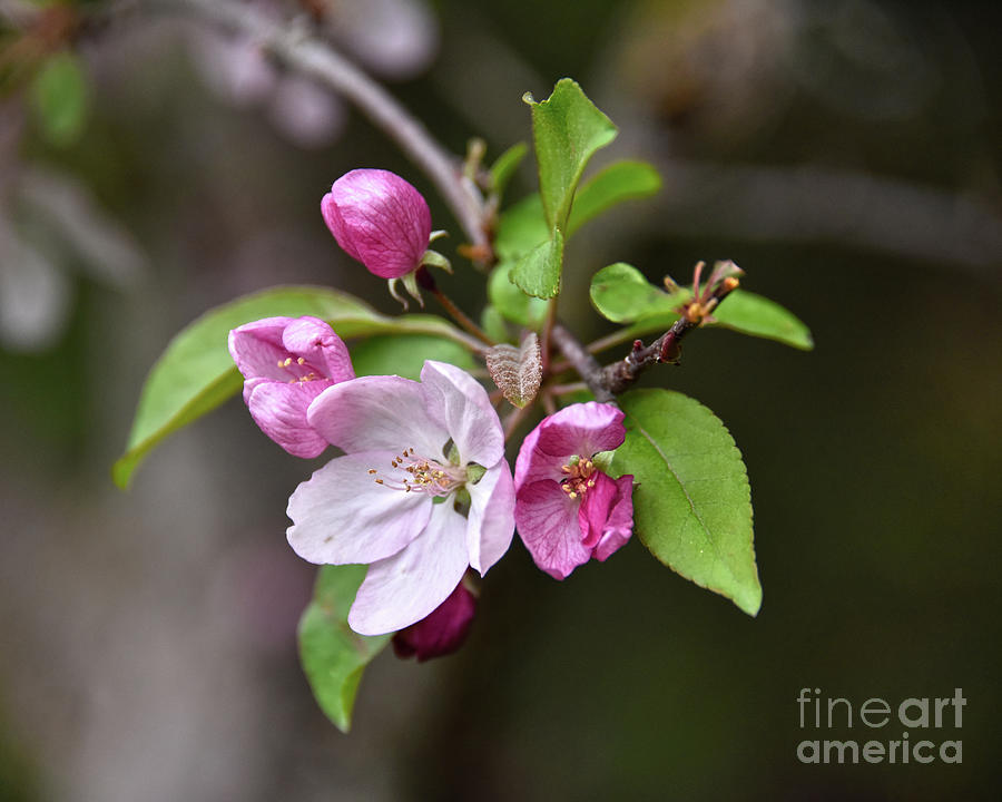 Blooming Crabapple Photograph