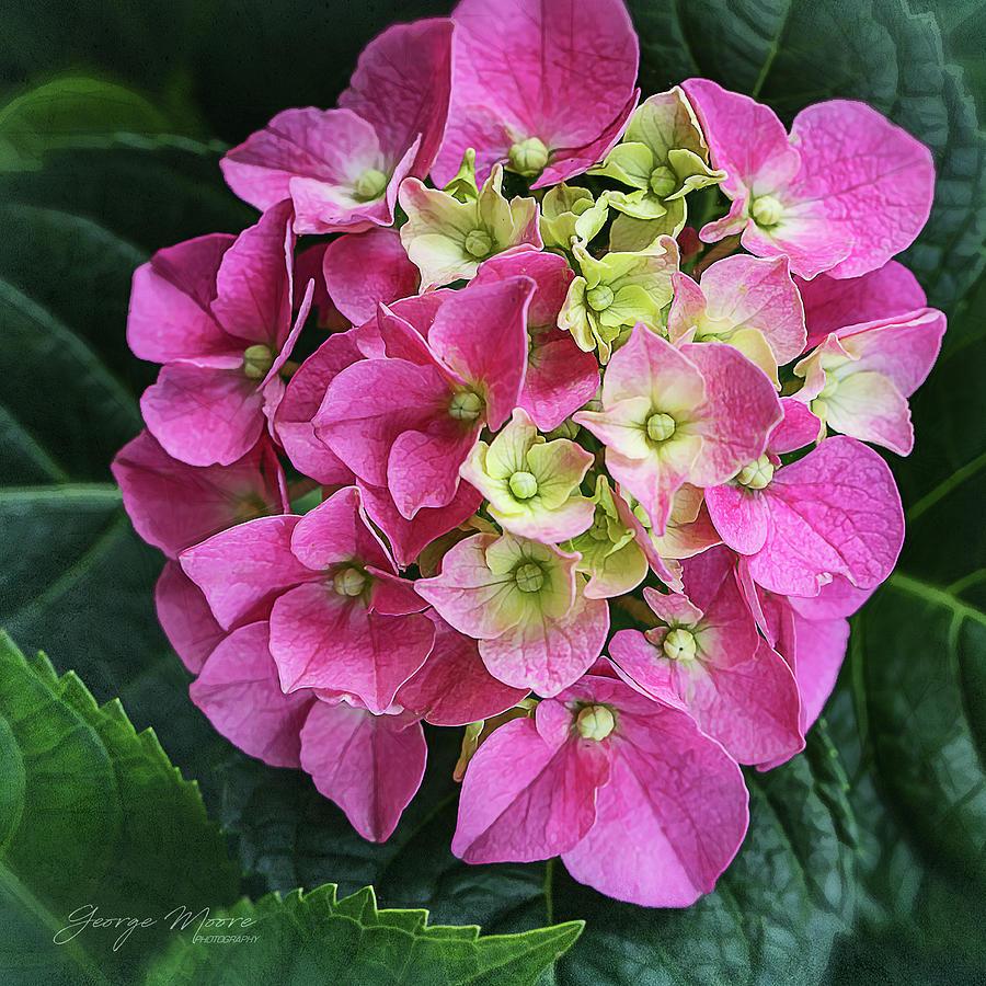 Blooming Hydrangea by George Moore