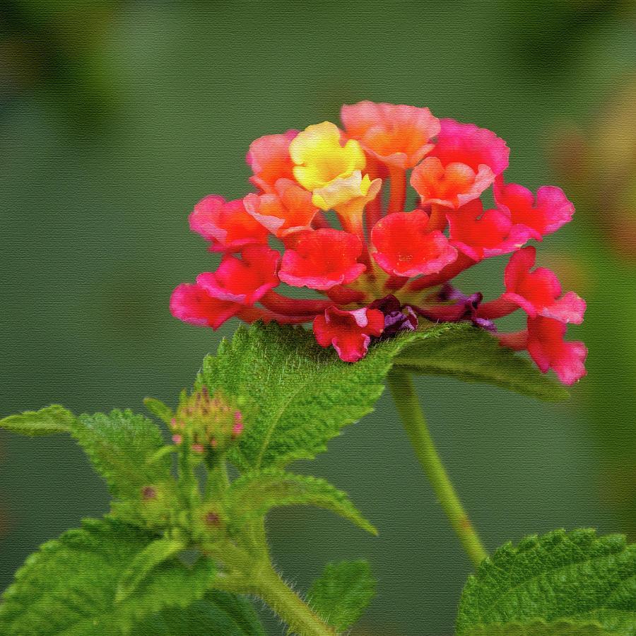 Blooming Lantana Photograph