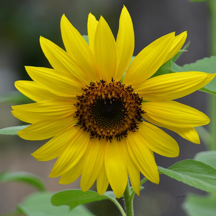 Blooming Sunflower Photograph