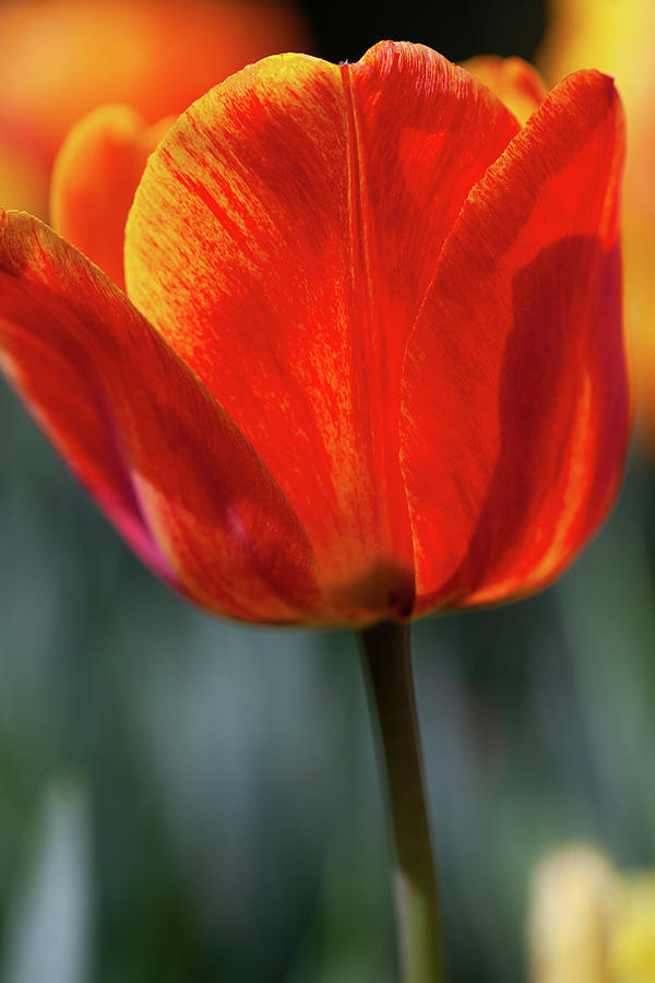 Blooming Tulip Photograph