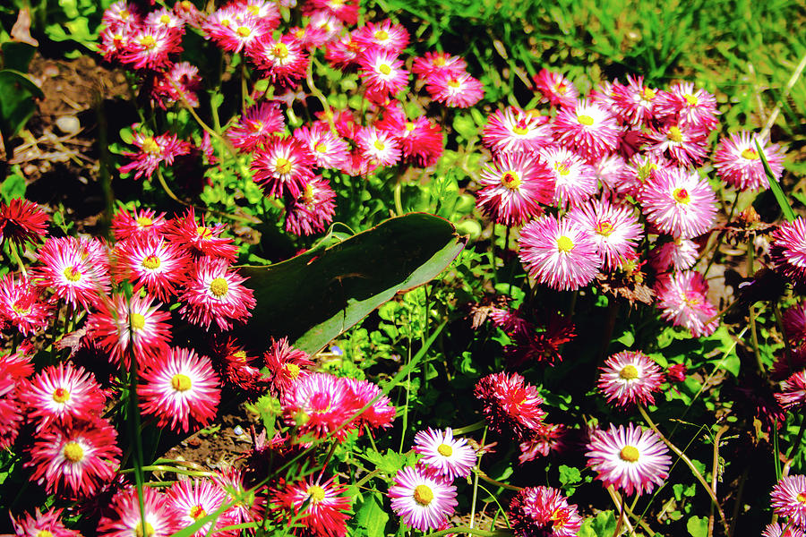 Blooming Wild Flowers Pink And Red Nuance Sunny Day Photograph