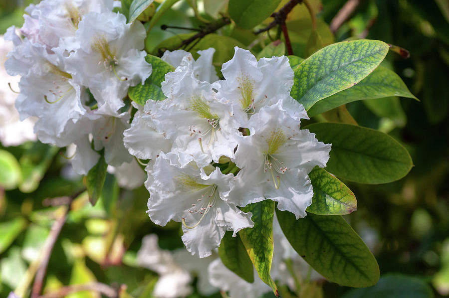 Blooms of Rhododendron Cunningham's White by Jenny Rainbow