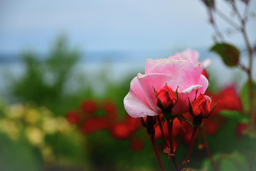 Blossoming Pink Rose Photograph