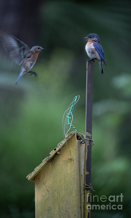 Blue Bird Angel Wings Photograph