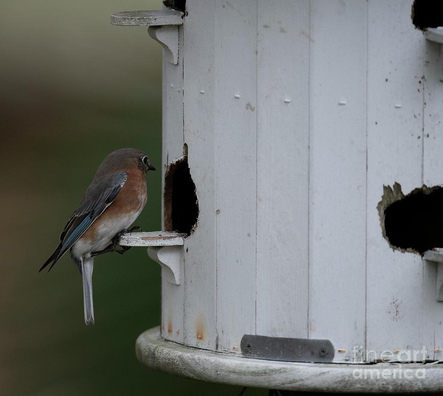Blue Bird - Bird House Photograph
