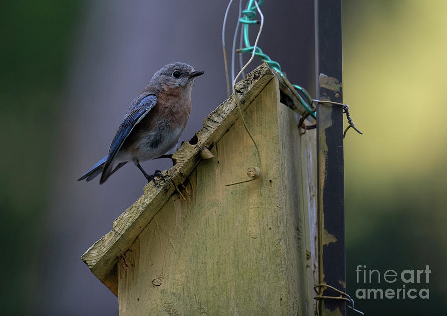 Blue Bird House Photograph