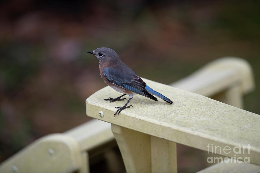 Blue Bird Perched On Chair Photograph