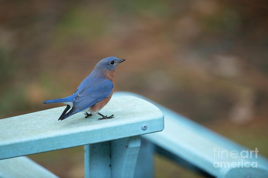 Blue Bird Resting Ledge Photograph