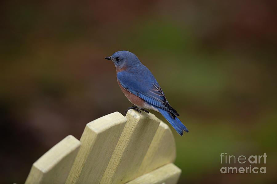 Blue Bird Surveying His Kingdom Photograph