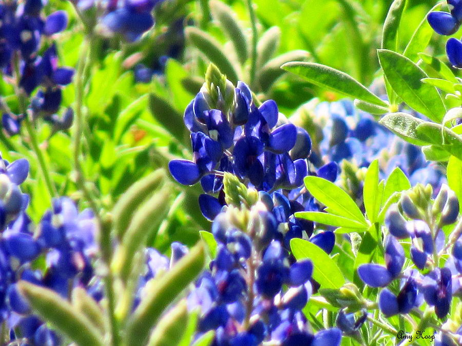 Blue Bonnets  by Amy Hosp