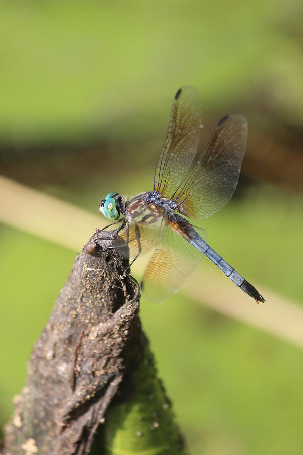 Blue Dasher Photograph - Blue Dasher by Callen Harty