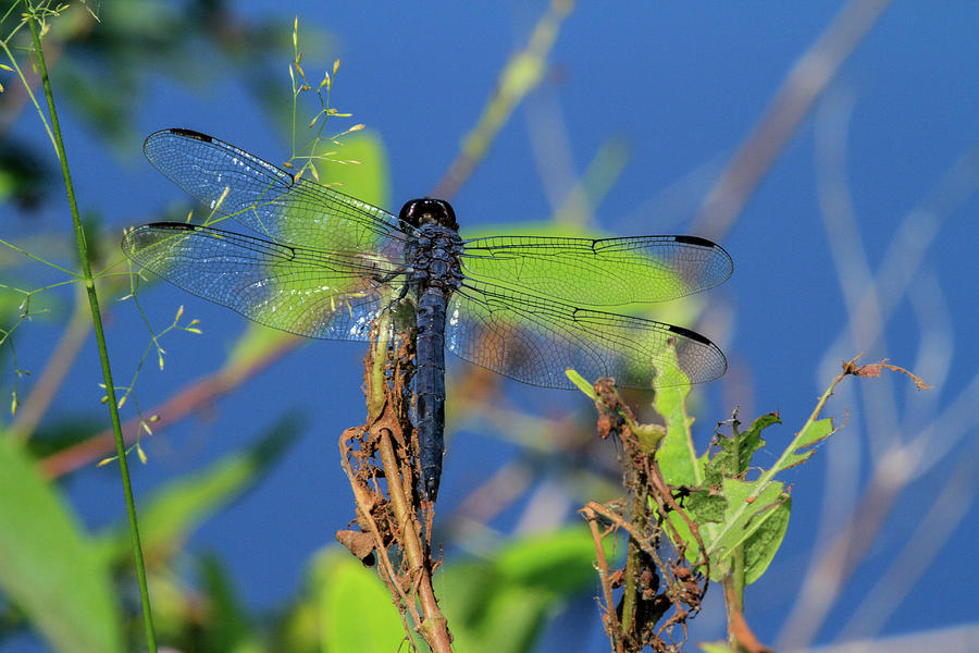 Blue Dasher Dragonfly Photograph